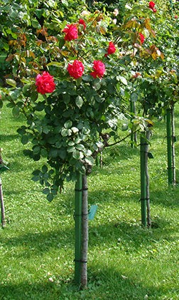 trandafir-cu-trunchi