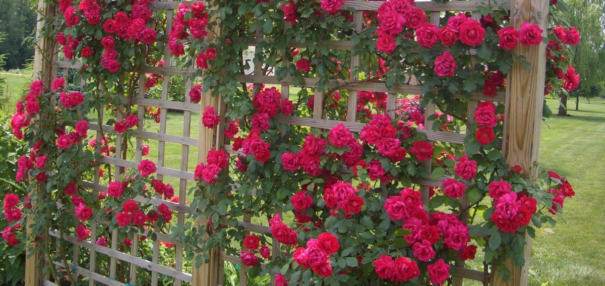 trandafiri-crestere-ingrijire