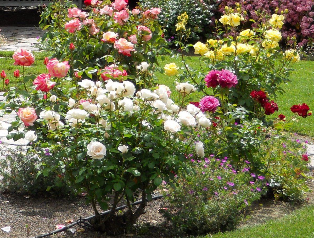 trandafiri-de-gradina