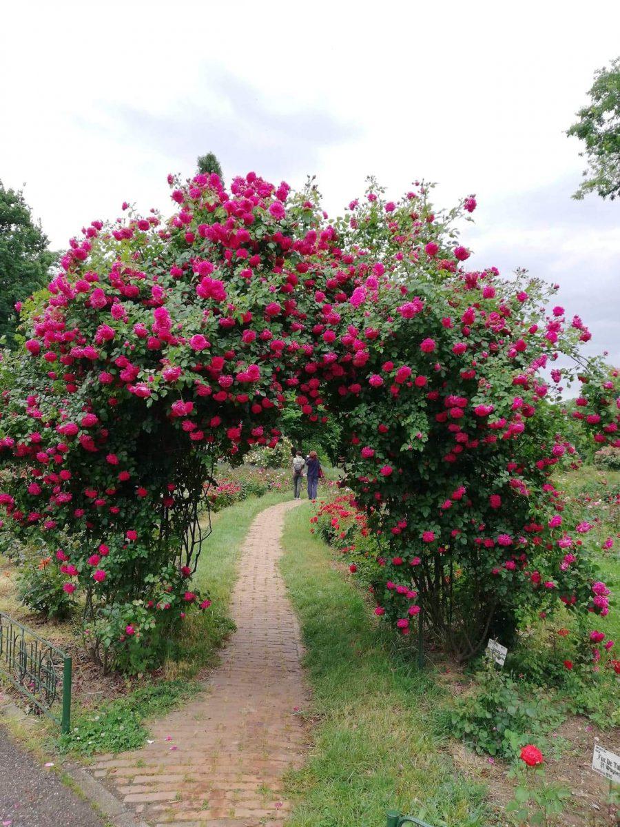 trandafiri-gradina-crestere