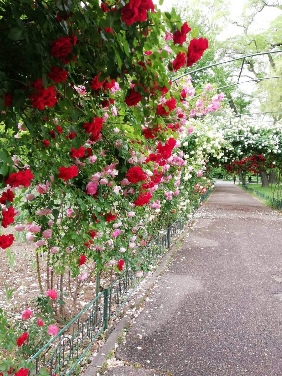 trandafiri-ingrijire-tratamente