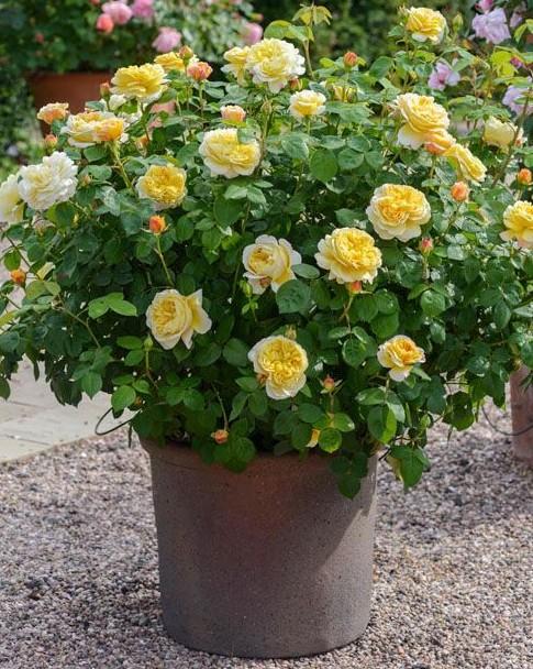 trandafiri-la-ghiveci