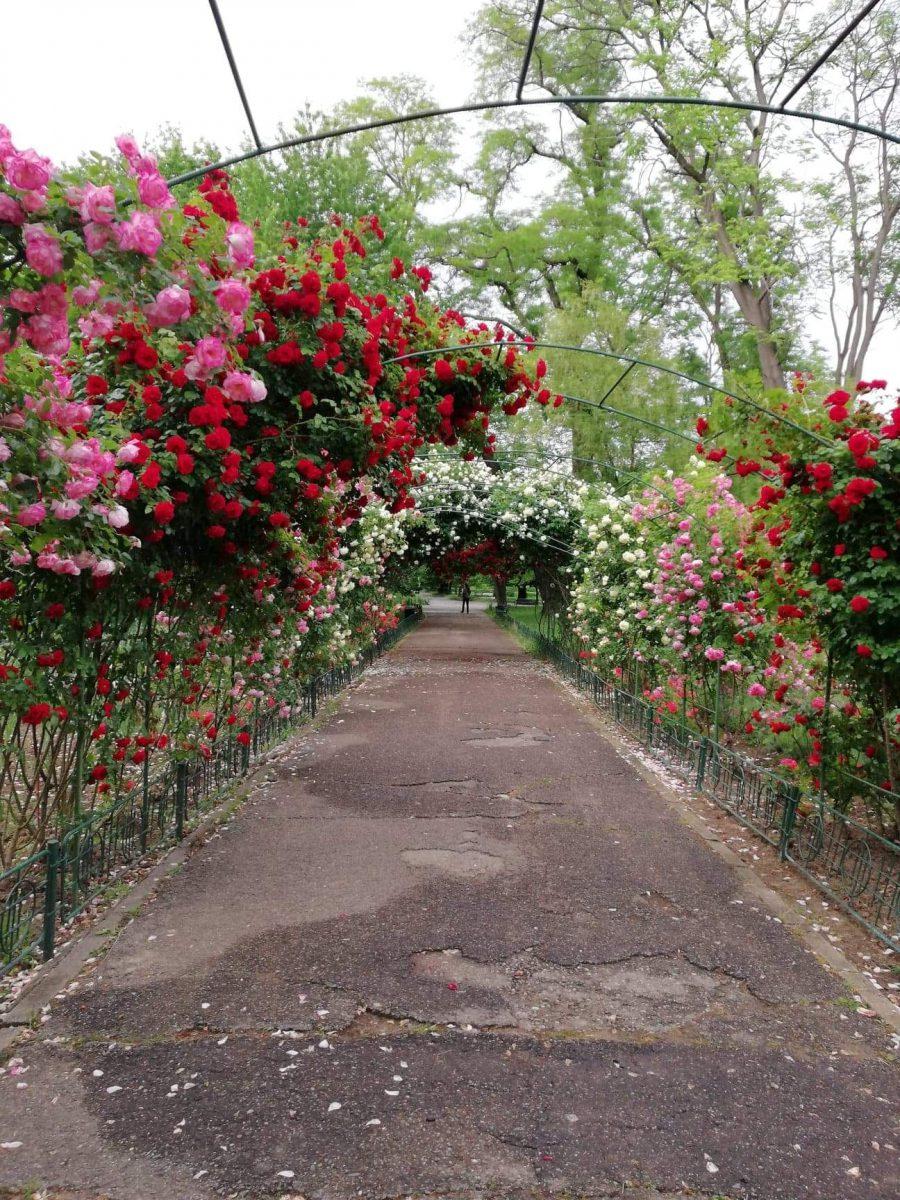 trandafiri-plantare
