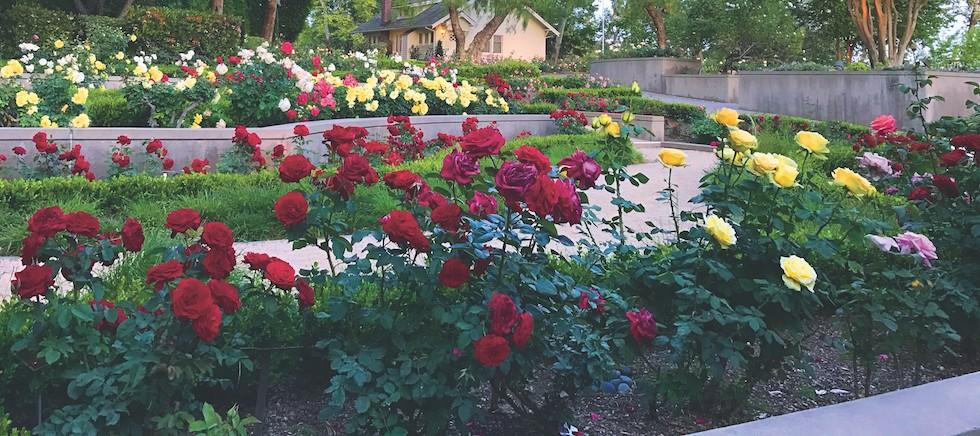 trandafiri-sfaturi-ingrijire