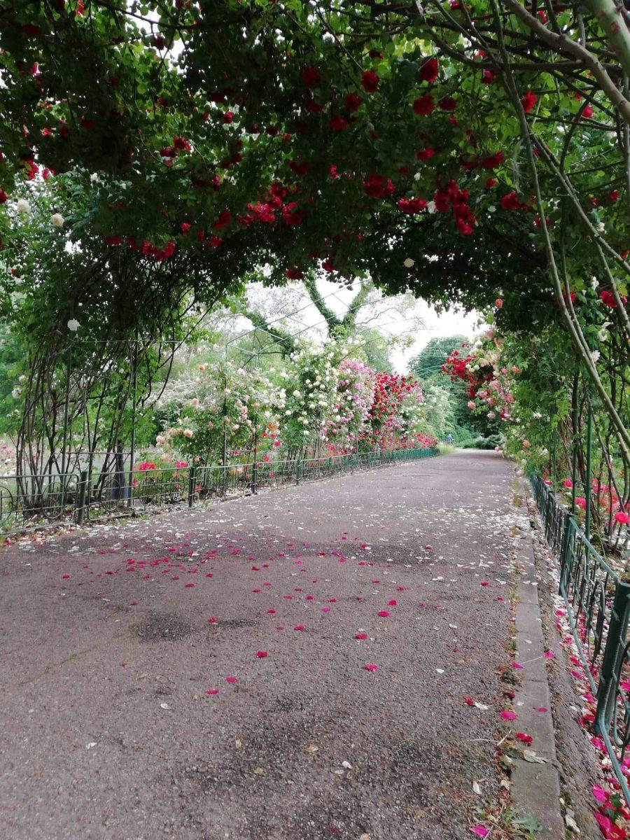 trandafiri-urcatori-crestere