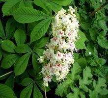 castan-porcesc-floare