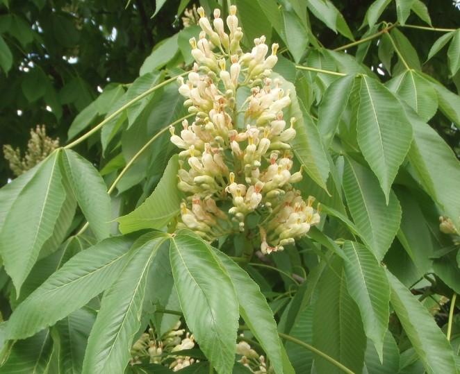 castanul-galben-flori