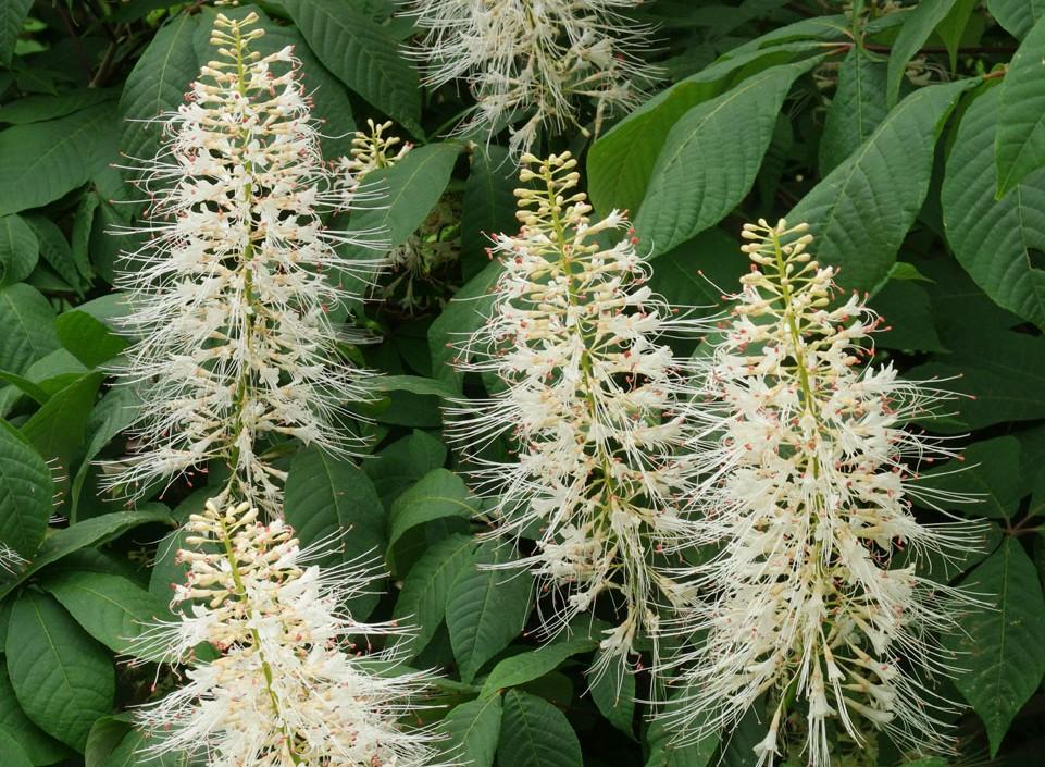 castanul-pitic-flori