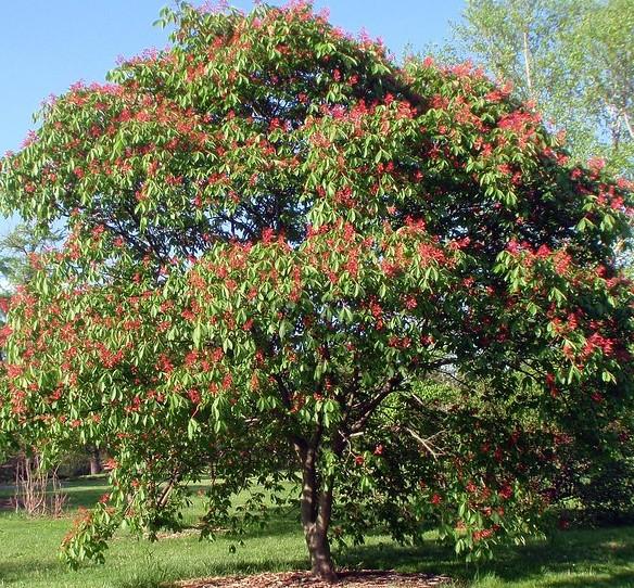 castanul-rosu-arbore