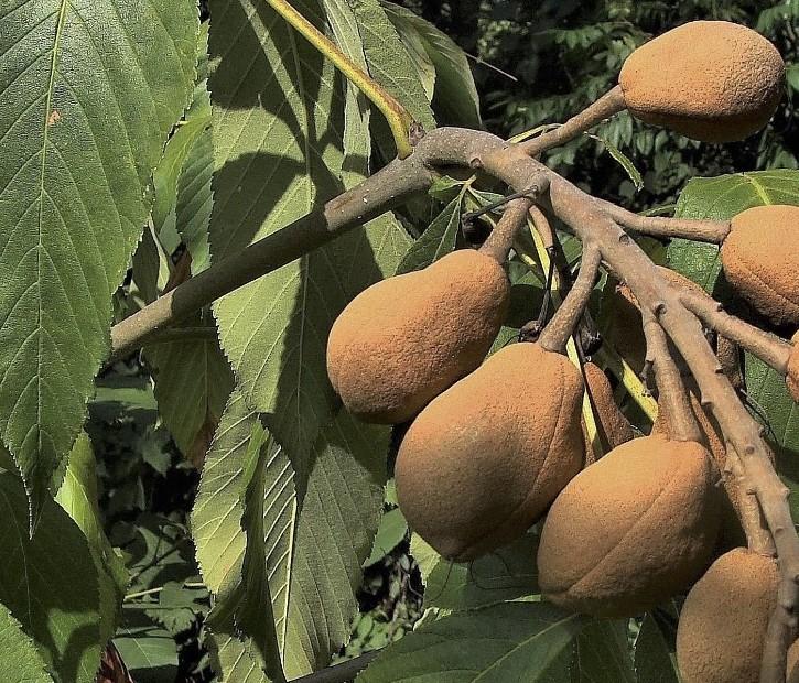 castanul-rosu-fructe
