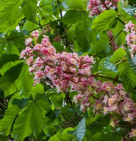 castanul-roz-hibrid-flori