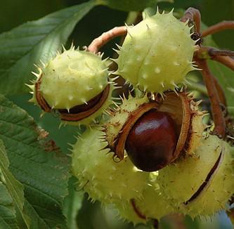 castanul-roz-hibrid-fructe