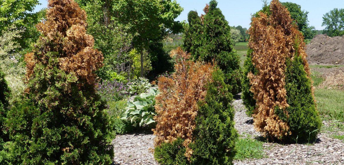 conifere-boli-uscare