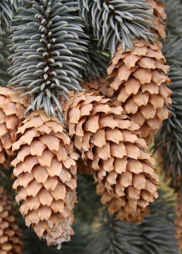 tratament comun cu ramuri de pin