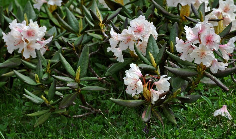 rhododendron-caucasicum