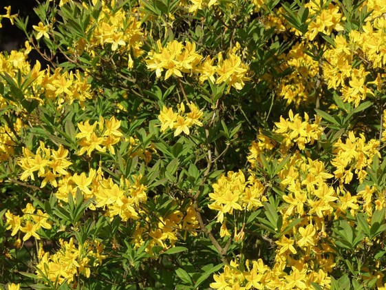 rhododendron-flavum