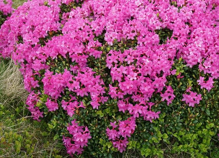 rhododendron-myrtifolium-inflorire