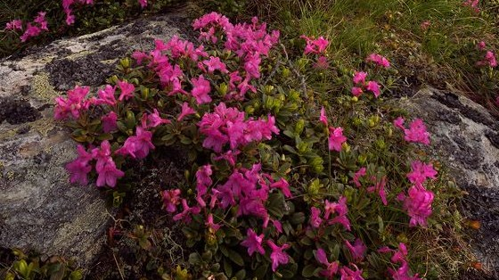 rhododendron-myrtifolium
