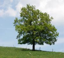 stejarul-arbore-plantare