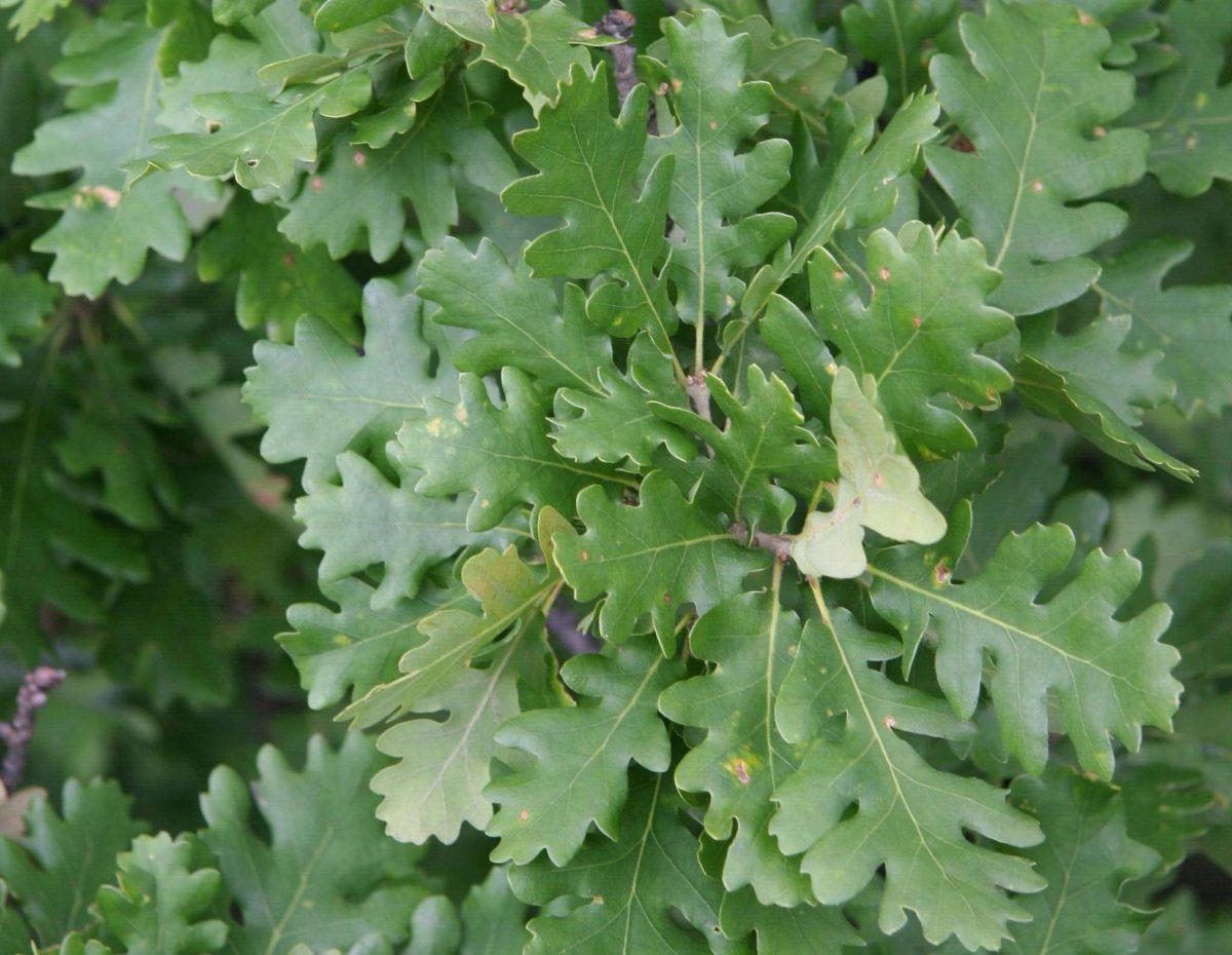 stejar-brumariu-frunze