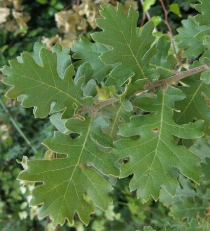 stejar-cer-frunze