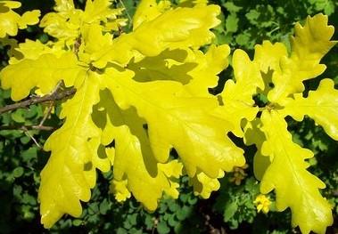 stejar-concordia-frunze