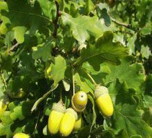 stejar-fructe