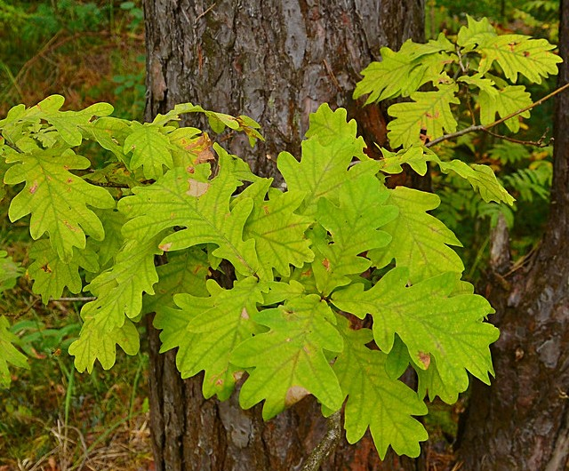 stejarul-frunze