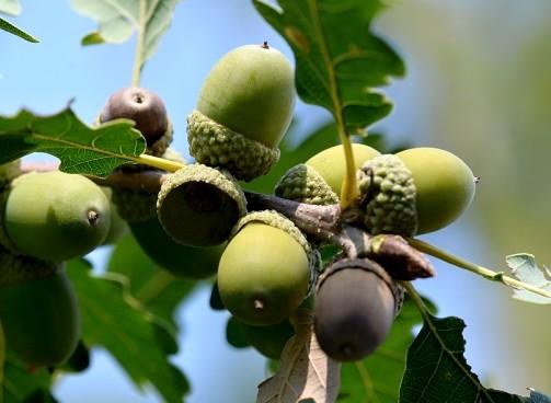 stejar-garnita-ghinde