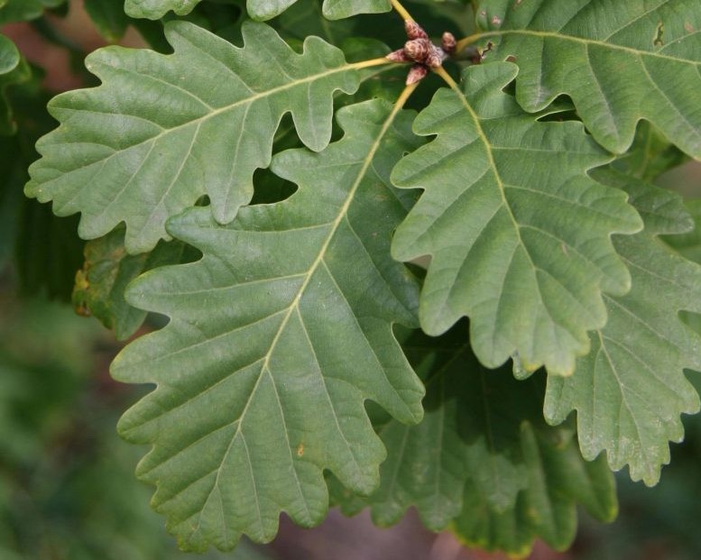 stejar-gorun-frunze