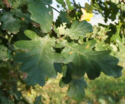 stejar-pedunculat-frunze