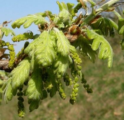 stejar-pufos-frunze-tinere