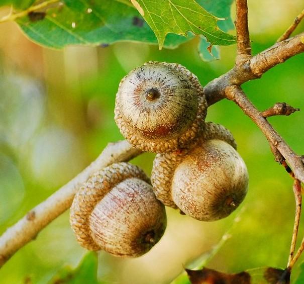 stejar-rosu-american-ghinde