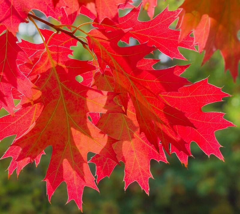 stejar-rosu-american-toamna