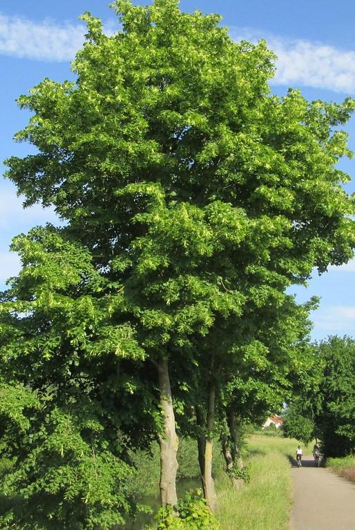 teiul-pucios-arbore