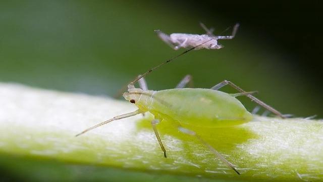 adult-paduchele-verde-al-piersicului