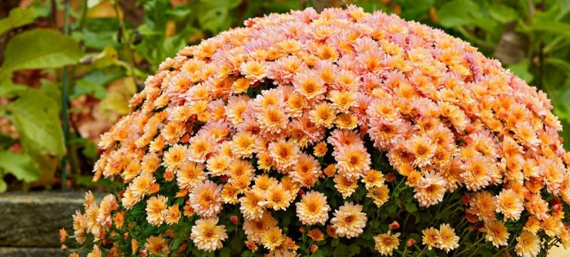 crizanteme-sfaturi-ingrijire