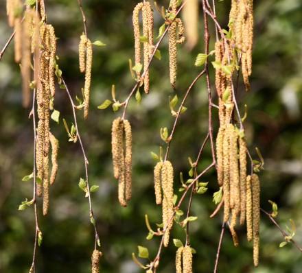 mesteacanul-seminte