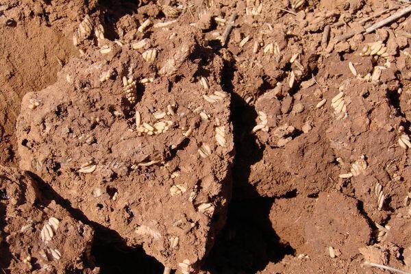 oua-lacusta-marocana