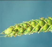 paduchele-ovazului-planta-atacata