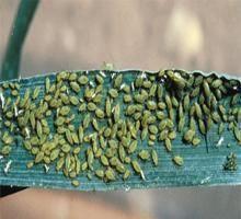 paduchele-verde-al-cerealelor-adult
