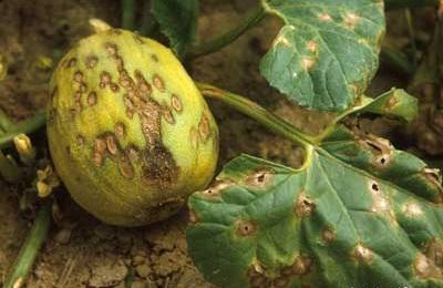 planta-atacata-antracnoza