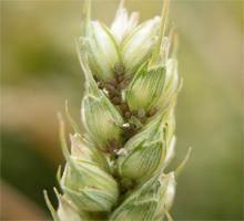 planta-atacata-paduchele-ovazului-1