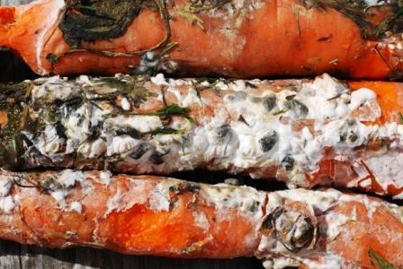 plante-atacate-putregaiul-alb-al-morcovului