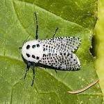 sfredelitorul-ramurilor-fluture