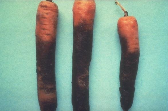 simptom-putregaiul-violet-al-morcovului
