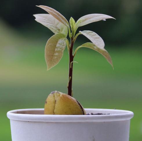 avocado-samanta