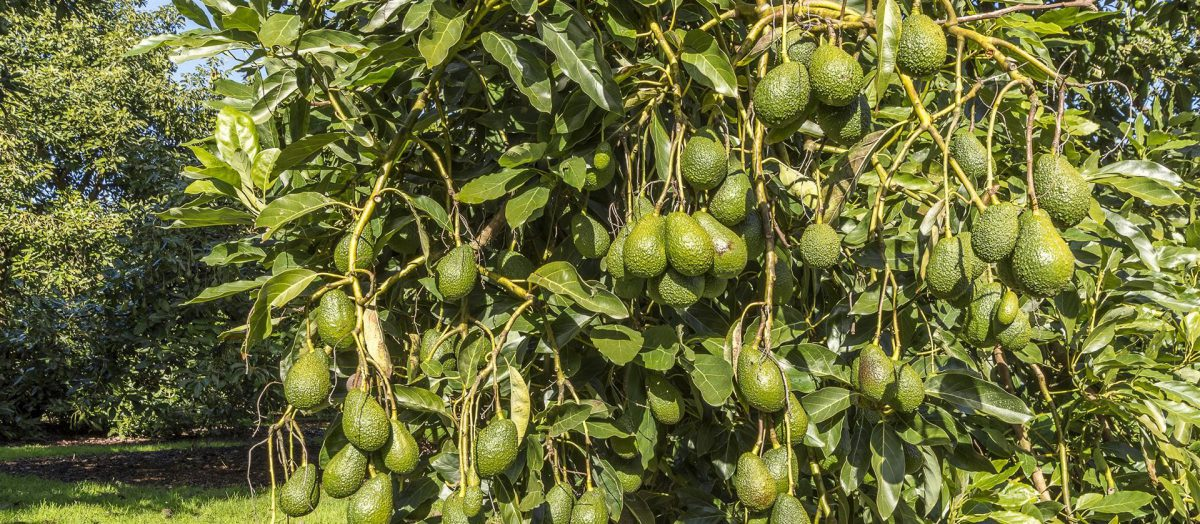 avocado-sfaturi-ingrijire