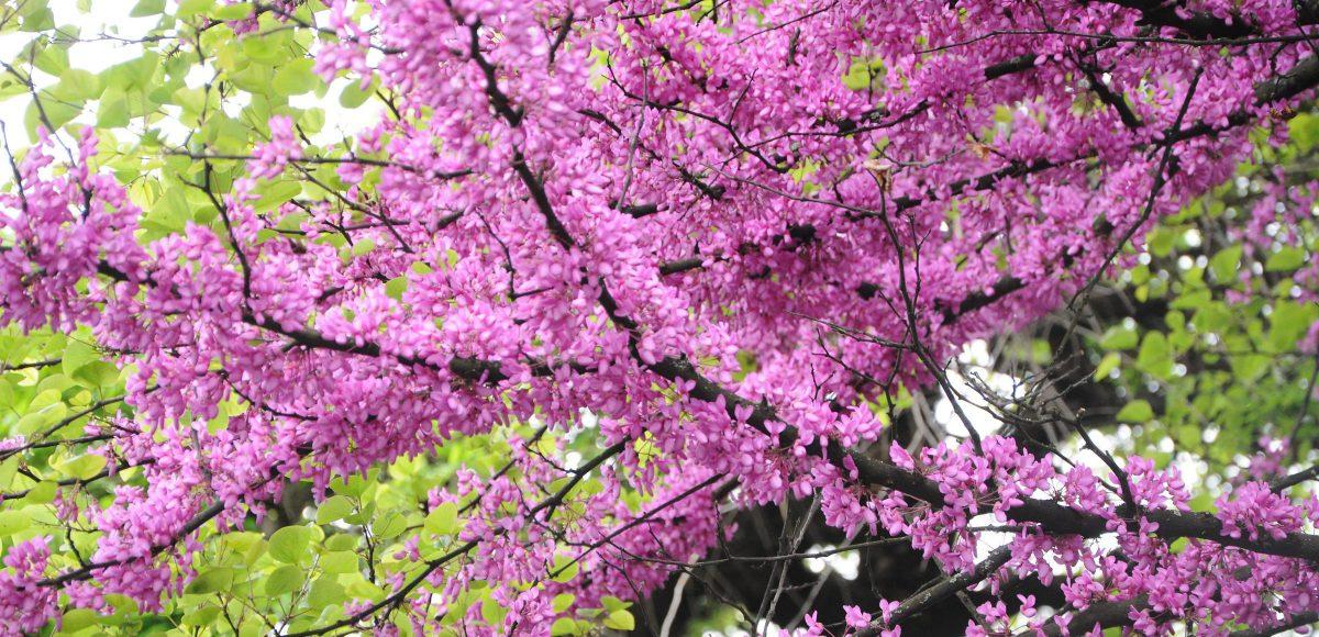 cercis-siliquastrum-arborele-lui-iuda