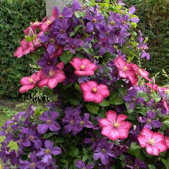 clematis-flori-roz-mov